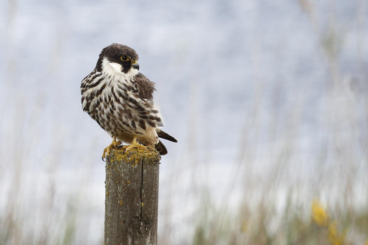Alcotán (Falco subbuteo)2
